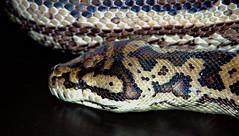 boas(0.0), eastern diamondback rattlesnake(0.0), boa constrictor(0.0), hognose snake(0.0), garter snake(0.0), sidewinder(0.0), kingsnake(0.0), animal(1.0), serpent(1.0), snake(1.0), reptile(1.0), fauna(1.0), viper(1.0), scaled reptile(1.0),