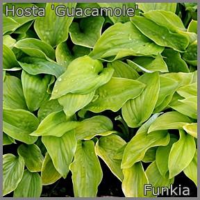 Hosta 'Guacamole' - Funkia