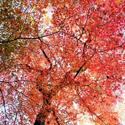 [フリー画像素材] 自然風景, 樹木, カエデ・モミジ, 紅葉・黄葉, 赤色・レッド ID:201112180600
