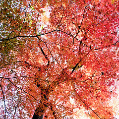 [Free Images] Nature, Trees, Maple, Autumn Leaf Color, Red ID:201112180600