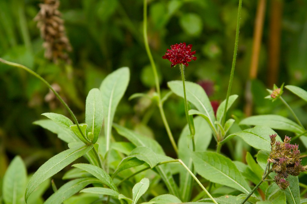 knautia macedonica december  1115