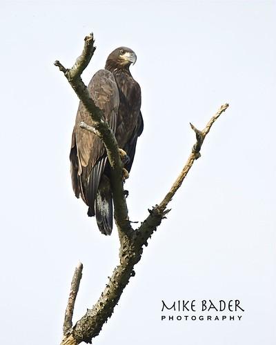 birds eagle baldeagle raptor avian birdsofprey pinelake ohiowildlife ohioeagles pinelakeeagles firestonefarmeagles