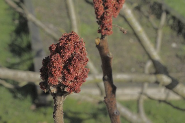 Red Flowers with Furry Stalks