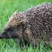 Hedgehog@SCC1