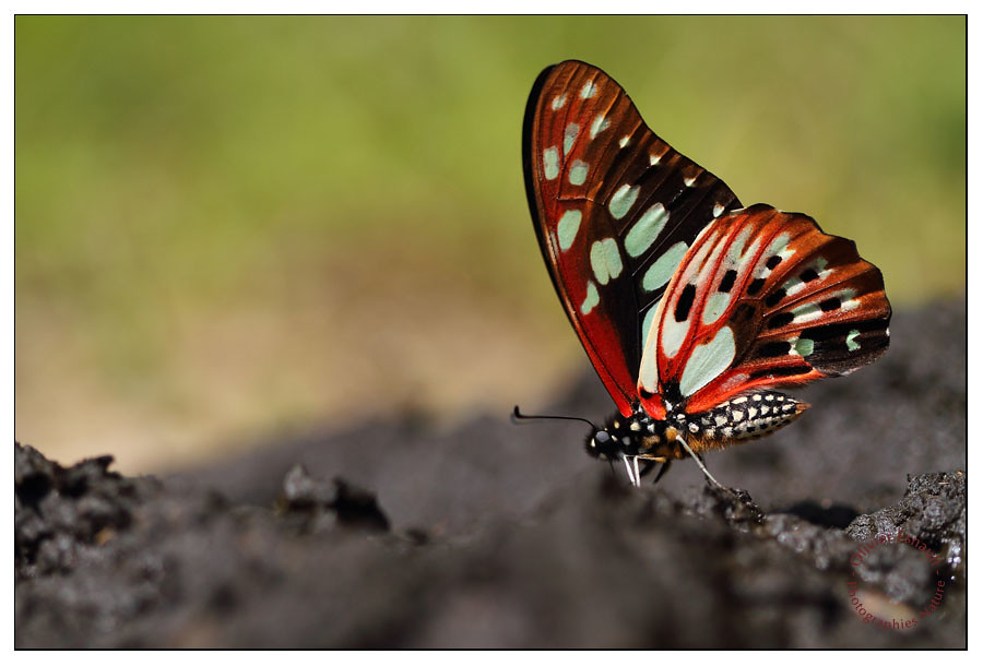 Graphium cyrnus [EXPLORED] by Pillot