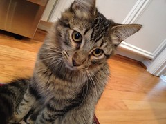 domestic long-haired cat, animal, maine coon, kitten, tabby cat, toyger, small to medium-sized cats, pet, european shorthair, pixie-bob, american shorthair, cat, carnivoran, whiskers, manx, domestic short-haired cat,