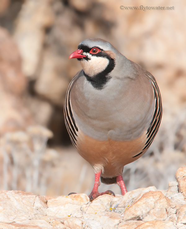 Wild Chukar Partridge - 6 Yards