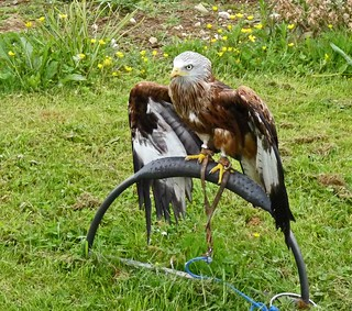 These are my Wings Red Kite at Fermoys Birds of Prey Centre Newton Abbot