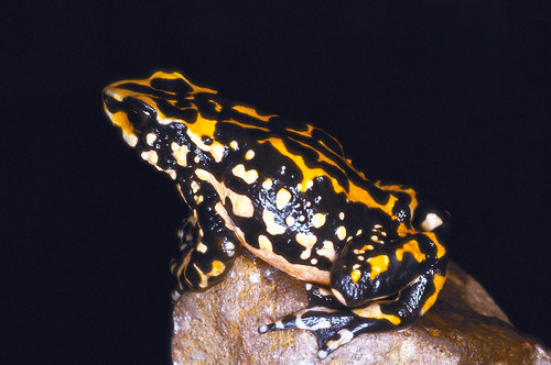 Atelopus petersi