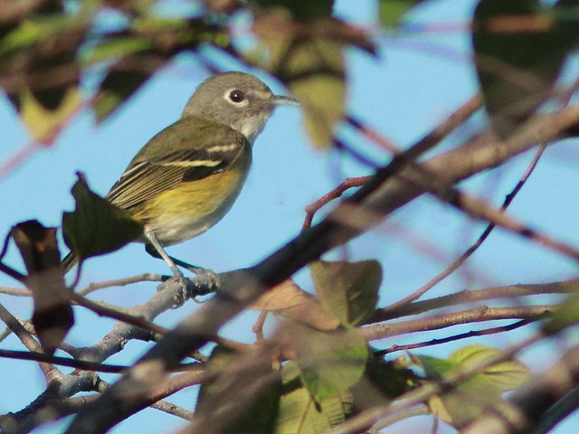 Blue-headed Vireo 20120101