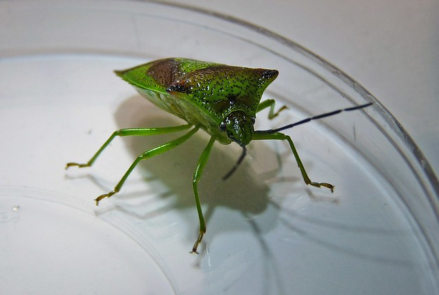 25451 - Hawthorn Shield Bug
