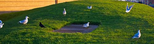 Hornsea Gulls