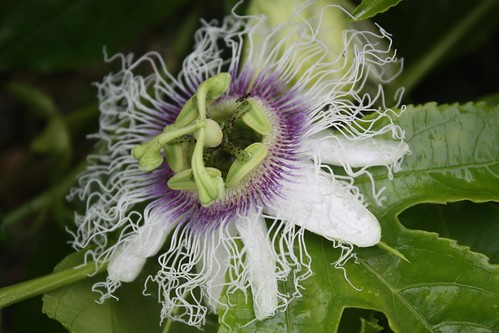 Passionfruit Flowers