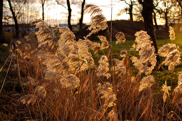 Ornamental Grasses I