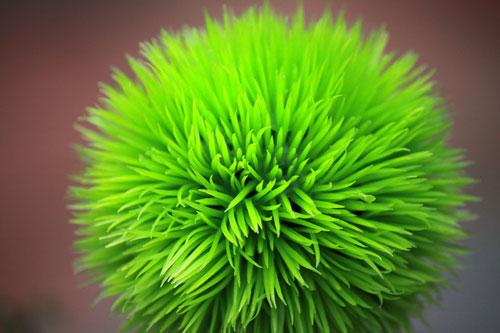 crazy, fuzzy green plant. meadowlark botanical gardens