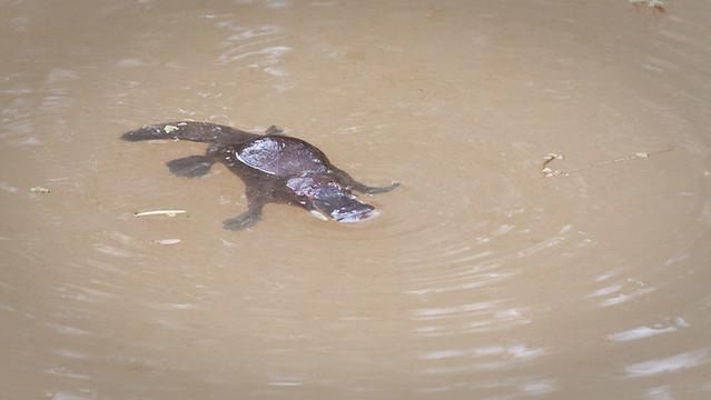 Schnabeltier / Platypus