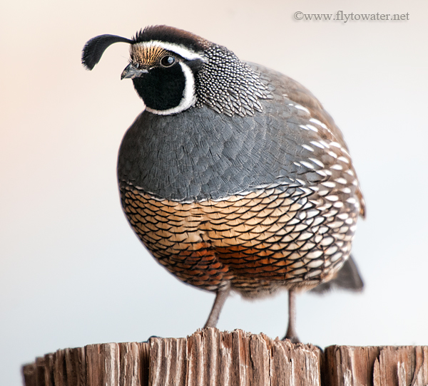 California Valley Quail - Side Light