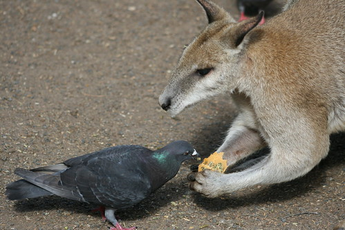 Ok now, how many of you have ever seen a wallaby feeding a pigeon??!!