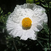 Romneya Coulteri (Not an Egg Plant)
