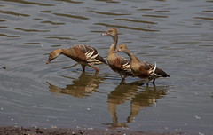 Plumed Whistling-Duck (Dendrocygna eytoni)