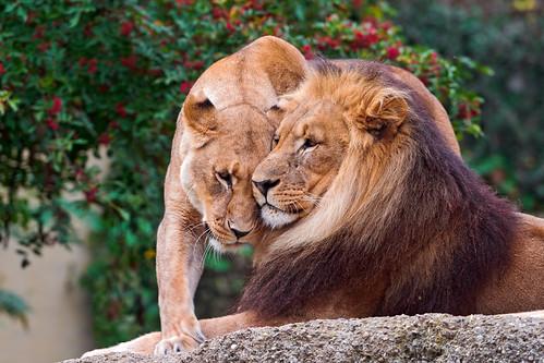 無料写真素材, 動物 , ライオン, 動物  カップル