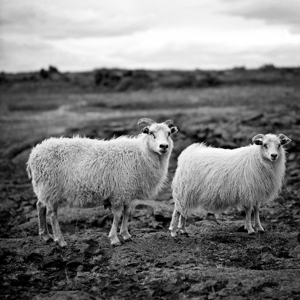 "Image titled ""Sheep, Near Hverfell, Iceland."""