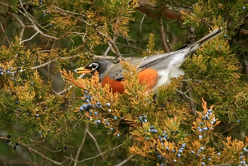 American Robin eating berries