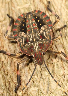 Bark shield bug