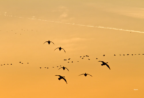 Canada Geese Landing in a field at Sunset Oakville Ontario Canada by gashphoto