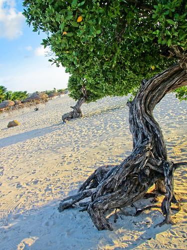 sea cactus island coast aruba naturalbridge iguana caribbean dutchantilles dividivi eaglebeach onehappyisland paseoherencia seroecrystal