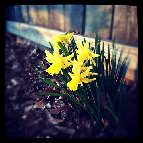 What the.....Daffodils in January?