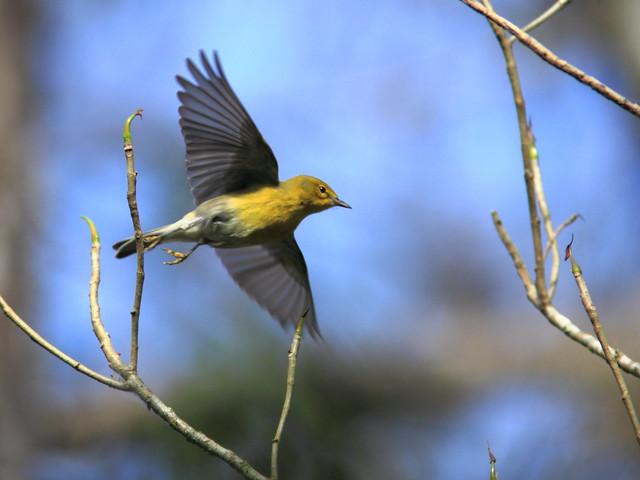 Pine Warbler 20120131