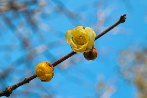 神代植物公園(蝋梅)~Jindai Botanical Garden(Chimonanthus praecox) [Explored]