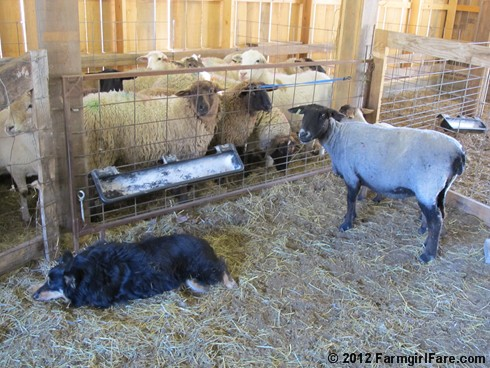 2012 Sheep shearing day 31 - FarmgirlFare.com