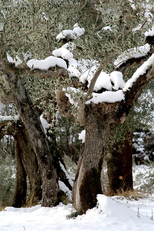 neve e ulivi