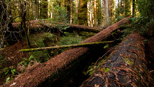 california wood trees tree leaves forest dark moss large wideangle tokina 101 bark massive giants redwood ferns sequoia fallentrees redwoodhighway