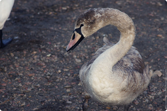 swans-06