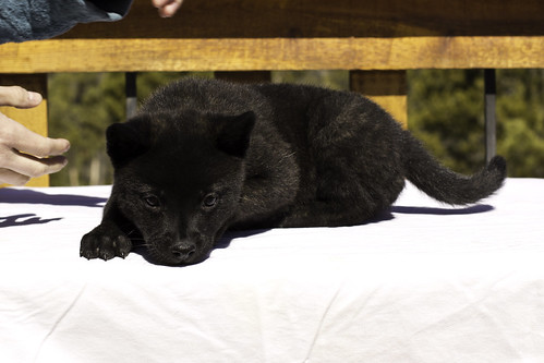 Nami-Litter1-Day54-Puppy5-Male(Ajax)-4