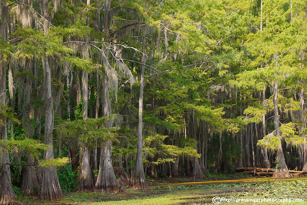 caddo lake state park map with 21701680 on Possum kingdom further Fly fishing east texas moreover Kayaking The Caddo moreover SH 66  TX likewise 20 Most Beautiful Forest Around World.