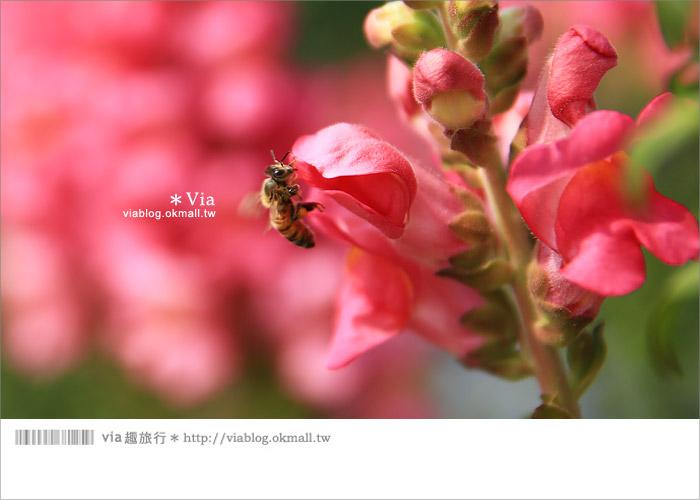 【向陽農場】賞花一日遊~[金魚草彩虹花田]繽紛盛開‧幸福賞花去!18