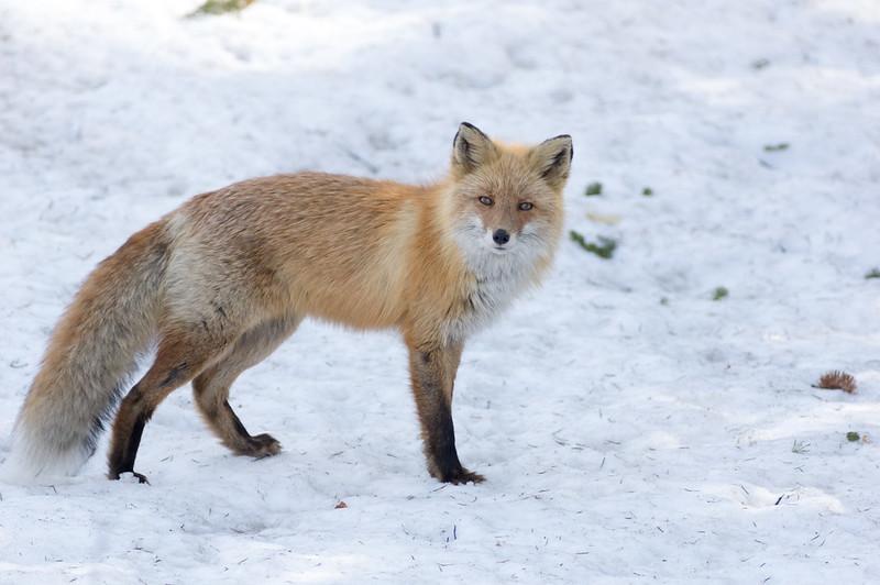 Red fox/キタキツネ