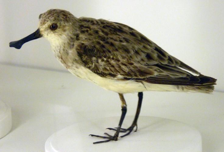 Eurynorhynchus pygmeus 26955224846_498c3a55e2_o