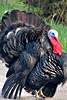 IMG_2263a_Tom_Turkey
