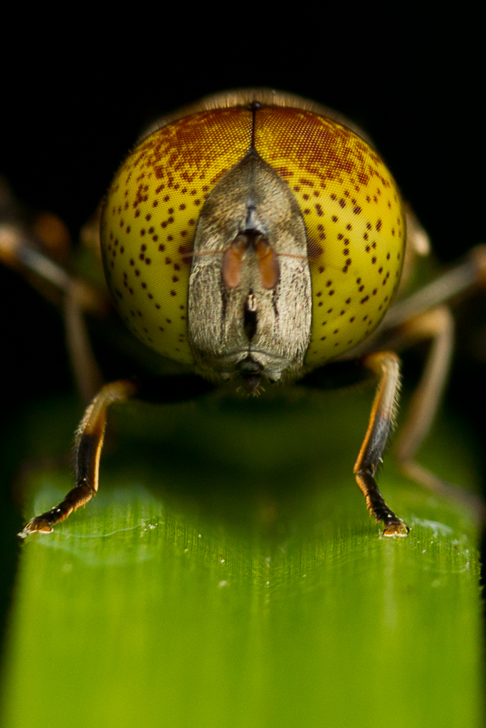 Spotted-eye Drone Fly