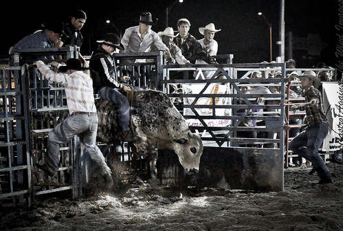 Chuting Bull-0244 by Against The Wind Images