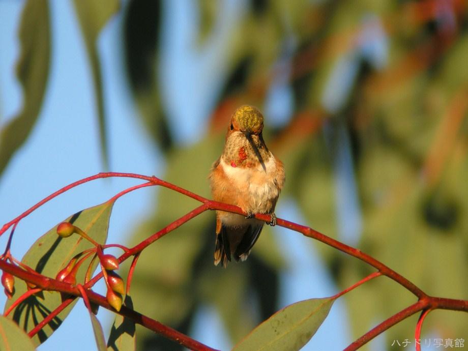 Allen's Hummingbird 112611-3