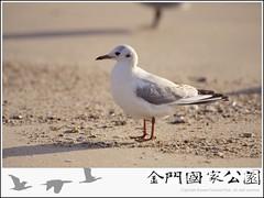 紅嘴鷗-01.jpg