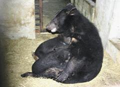 小熊隔離一段時間後,母子聚時立即授乳情形。(楊吉宗 攝)
