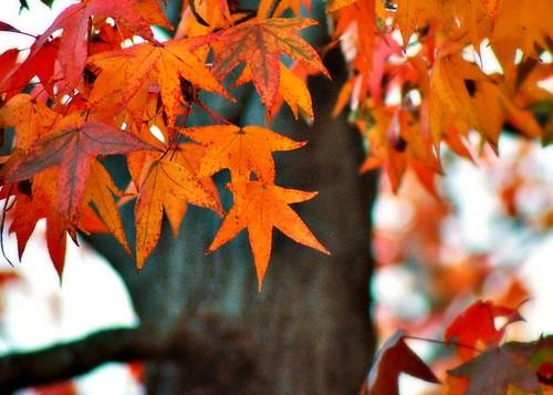 Sweetgum Fall