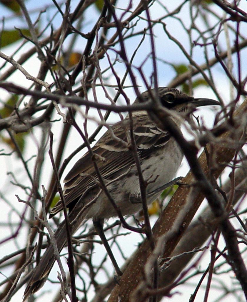 DSC00852 Galápagos mockingbird